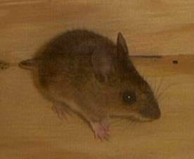 MOUSE6